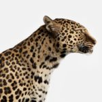 Spotted Leopard No. 1