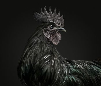 Black Ayam Rooster 01 VF